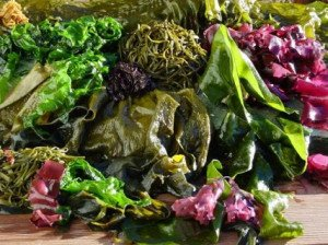 algues-fraiches