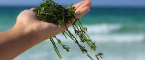 Les algues, des trésors de la mer…
